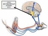 Центральная нервная система. строение и функции