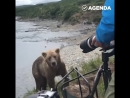 Бурый медведь подошёл вплотную к фотографам