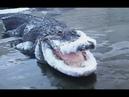Catching Frozen Alligators