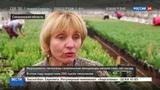 Новости на Россия 24 Симфония тюльпанов Сахалин стал достойным конкурентом Голландии