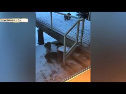 Пользователей Сети порадовало видео с пришедшими в гости к жителям Аляски рысями