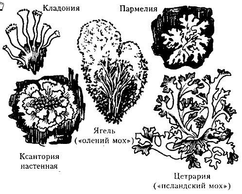 лишайник это симбиотический организм состоящий из