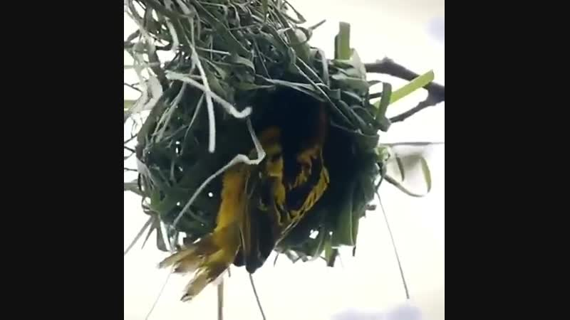 Yuvayı dişi kuş kurar diyorlar ya - Hah işte - O dişi kuşu bulduk - -