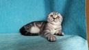 Котик серебристый мраморный