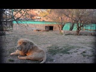 Как привыкали жители Белогорска к львиному рыку в Парке Львов Тайган.Крым