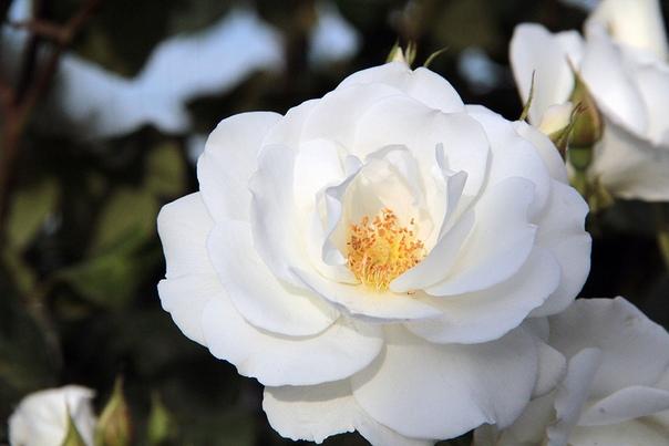 Жасмин садовый: посадка и уход в открытом грунте