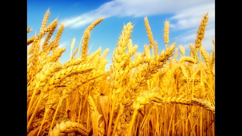 Неудобная тайна эволюции Откуда на Земле пшеница и кукуруза Секрет хлеба из амаранта смотреть онлайн без регистрации