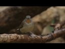 Малая мухоловка восточная Ficedula albicilla