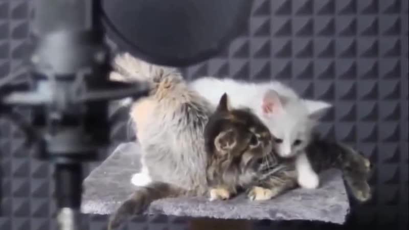 Miau Miau song
