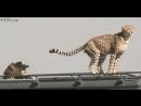 Леопард покакал, интересно, а он лапками закапывает или нет?