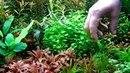 Echinodorus magdalensis vagy quadricostatus (low tech növénykalauz)