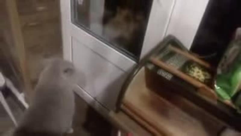 Кот просит открыть ему дверь и говорит- 'Открой мне''_5393.mp4