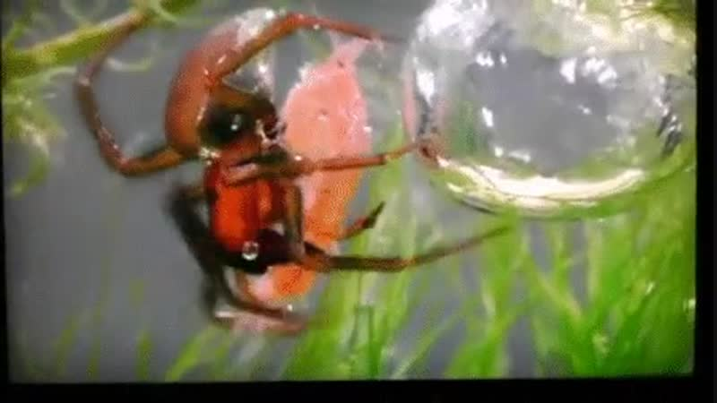 Spider builds a bubble nest underwater and drags its prey inside
