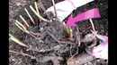 Сделайте это с пионами осенью в сентябре для шикарного цветения в следующем году!