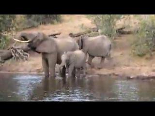Крокодил атакует слона