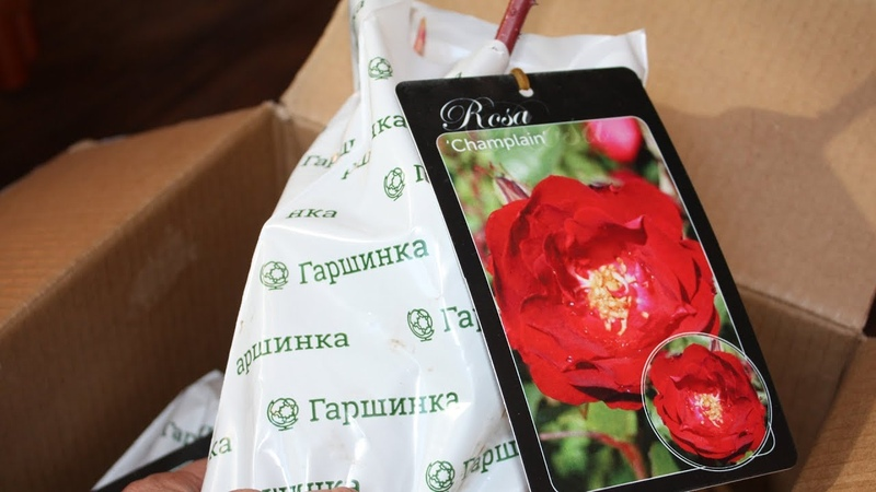 Самые зимостойкие розы Канадские сорта Где заказать и как посадить