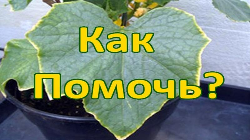 Признаки недостатка элементов у растений Почему листья скручиваются увядают желтеют и гибнут