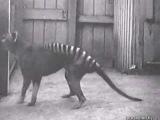 Тасманский тигр - очень красивое и интересное животное , к сожалению полностью истреблённое человеком