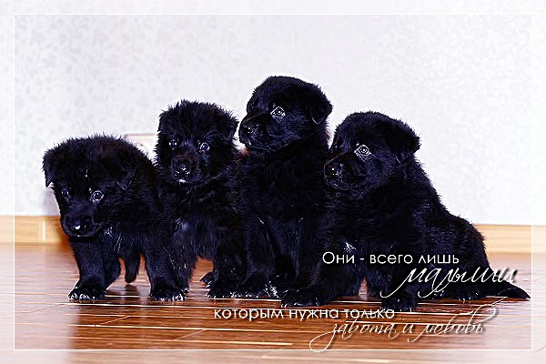 Очень красивые щеночки метисы лайки, возраст 1,5 месяца, разные окрасы, здоровы, отлично