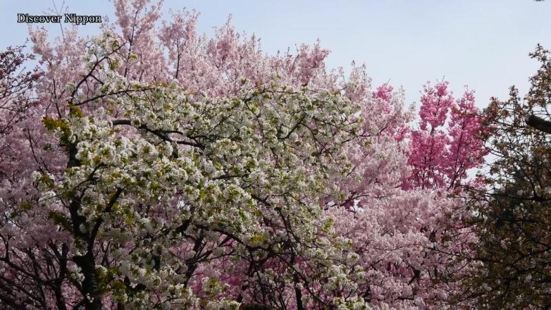 Токио, цветение сакура в 4K!