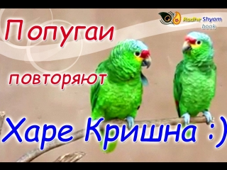 Попугаи повторяют Харе Кришна. Parrots chanting Hare Krishna