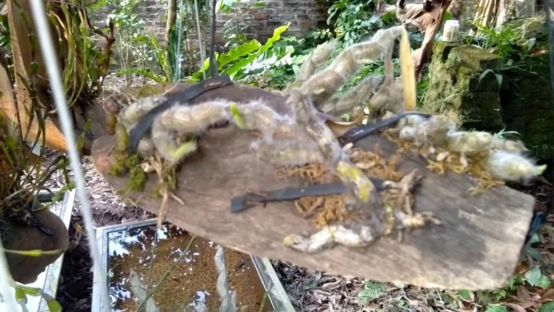 9 loài lan rừng nở đón tết miền bắc năm nay