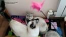 Тайским кошкам Алис и Анжель исполнилось сегодня 5 лет! Тайские кошки - это чудо! Funny Cats