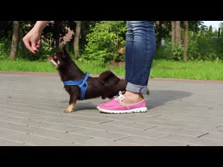 Amazing dog tricks by chiwawa archi