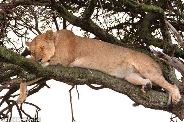 Африканские львы известны как быстрые и сильные хищные кошки, которые способны в считанные минуты разорвать свою жертву, но даже они нуждаются в уединении и отдыхе.... #zoopicture #Большиекошки #Лев