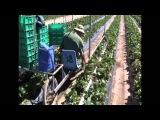 Клубничная ферма. Как выращивают клубнику заграницей.