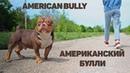 Американский Булли. Взаимодействие с незнакомым человеком.