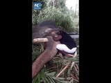 Man sings elephant to sleep with lullaby