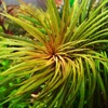 АКВАТАНК - редкие аквариумные растения