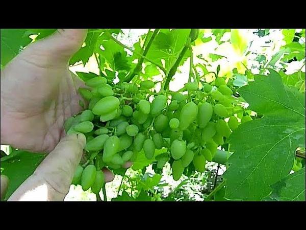 Последняя плановая обработка винограда перед смыканием ягод.