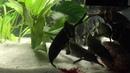 Feeding Gnathonemus petersii