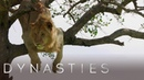 Lion Is Stuck In A Tree | Dynasties: On Location | BBC Earth
