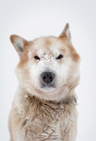 Эта собака за свою жизнь протащила сани на 25,000 миль. Это больше, чем длина экватора. Его зовут Армстронг