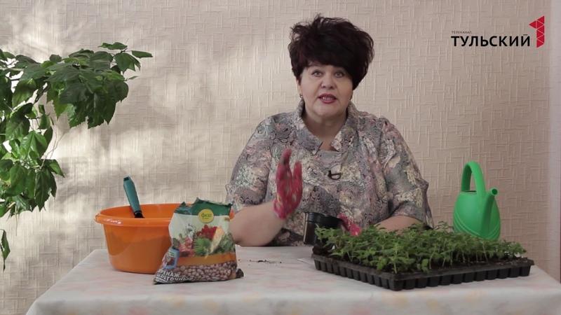 пересадка черенков хризантемы