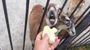 Мои любимые муфлоны любят капусту! Тайган