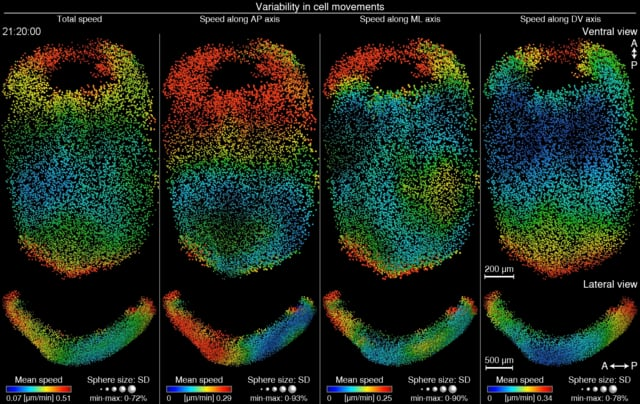 Movie S24 | Variability in local cell movements across mouse embryos