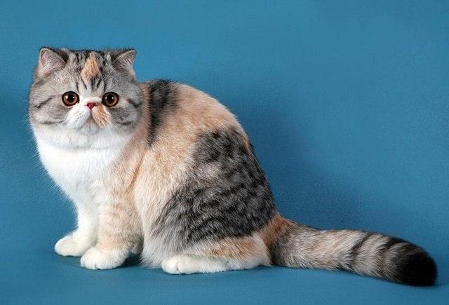 Экзотические коты короткошерстные цена