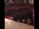 Медведь зашел в отель в США