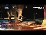Роды слонихи.  Трогательно! Слон спасает своего мертвого слоненка! / Уникальные кадры