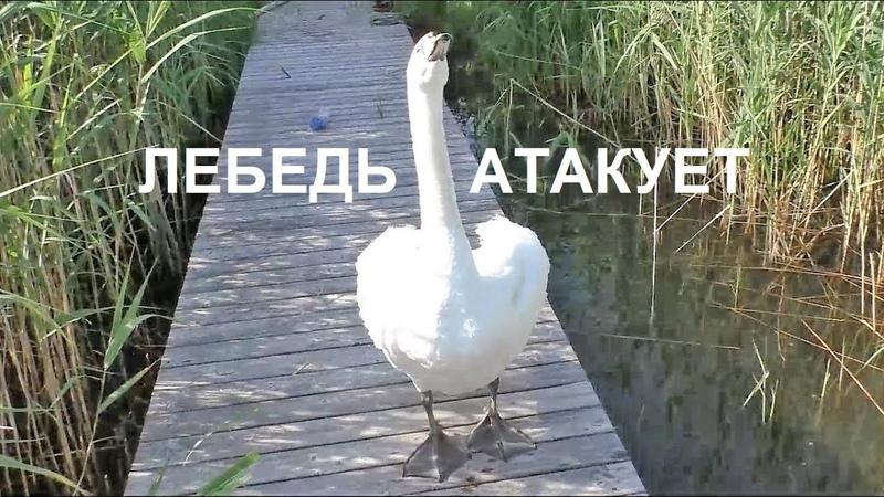 ЛЕБЕДЬ АТАКУЕТ И ВЫИГРЫВАЕТ !