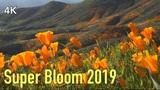 Walker Canyon Poppy Fields in Lake Elsinore 2019, California - Super Bloom Wildflower
