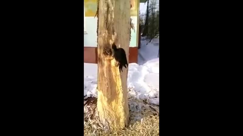 Дятел долбит дерево уже 4 дня. Щепки возле дерева. Работник месяца