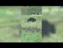 Медвежонок вышел к людям из леса на Сахалине