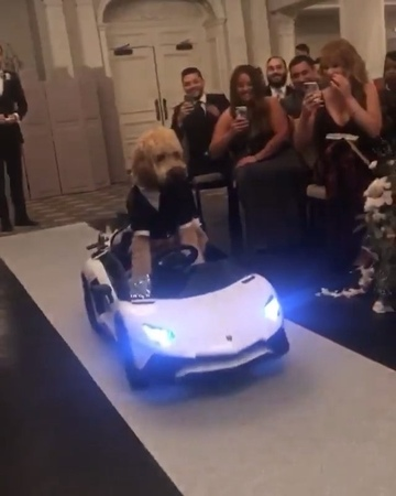 "OnlyForLuxury on Instagram: ""Frankie coming down the aisle in a Lamborghini 🐶 Follow @lux.interiors Video: @taytre12 OnlyForLuxury"""