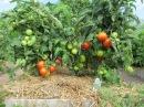 Томаты - секреты успешного выращивания.