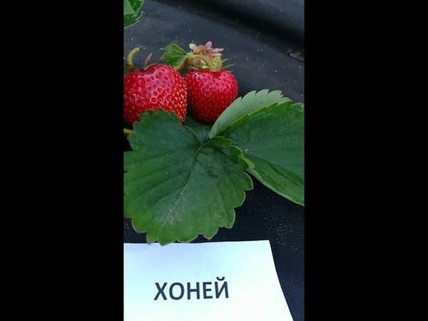 Хоней садовая крупноплодная земляника